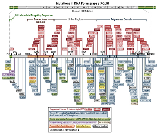 chart of Mutations in DNA Polymerase