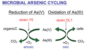 arsenic cycling diagram