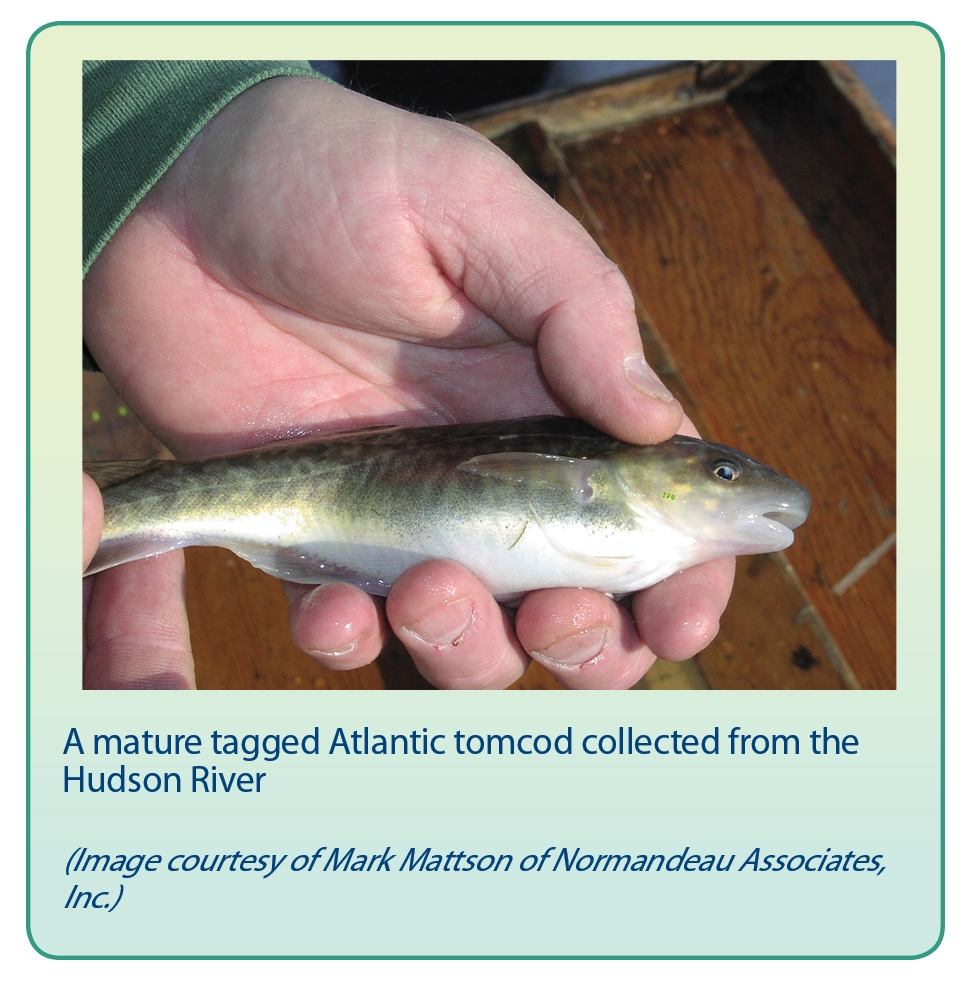 A mature tagged Atlantic tomcod collected from the Hudson River