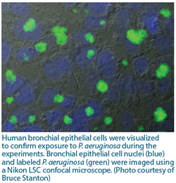 Human bronchial epithelial cells were visualized to confirm exposure to P. aeruginosa during the experiments. Bronchial epithelial cell nuclei (blue) and labeled P. aeruginosa (green) were imaged using a Nikon LSC confocal microscope. (Photo courtesy of Bruce Stanton).
