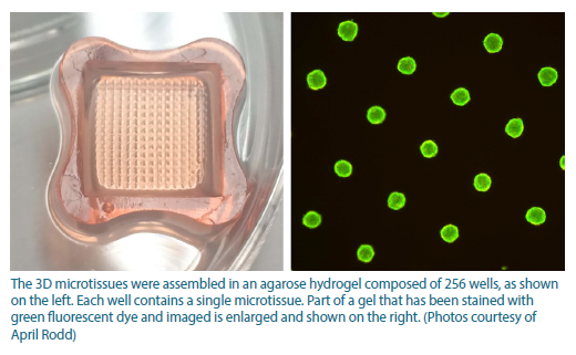 The first image shows an agarose hydrogel composed of 256 wells, where the 3D microtissues were assembled. The second photo shows part of a gel that has been stained with green fluorescent dye and imaged.