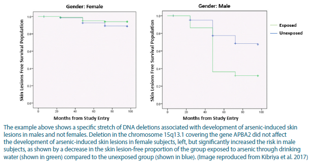 This example shows a specific stretch of DNA deletions associated with development of arsenic-induced skin lesions in males and not females. Deletion in the chromosome 15q13.1 covering the gene APBA2 did not affect the development of arsenic-induced skin lesions in female subjects, left, but significantly increased the risk in male subjects, as shown by a decrease in the skin lesion-free proportion of the group exposed to arsenic through drinking water compared to the unexposed group.