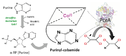 Desulfitobacterium uses unsubstituted purine to form purinyl-cobamide, a helper molecule that initiates PCE detoxification.