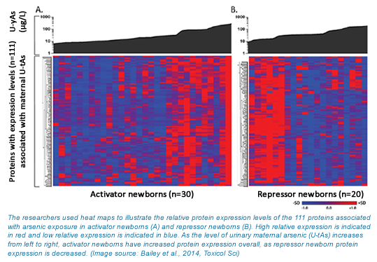 A heat map which shows that activator newborns have increased overall protein expression with increasing arsenic and repressor newborns have decreased protein expression with increased arsenic.