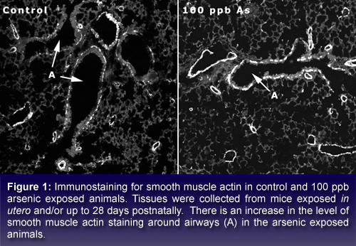 text box stating: Immunostaining for smooth muscle actin in control and 100 ppb arsenic exposed animals. Tissues were collected from mice exposed <i> in utero </i> and/or up to 28 days postnatally.  There is an increase in the level of smooth muscle actin staining around airways (A) in the arsenic exposed animals.