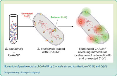 Illustration of passive uptake of Cr-AuNP by S. oneidensis, and localization of Cr(III) and Cr(VI).