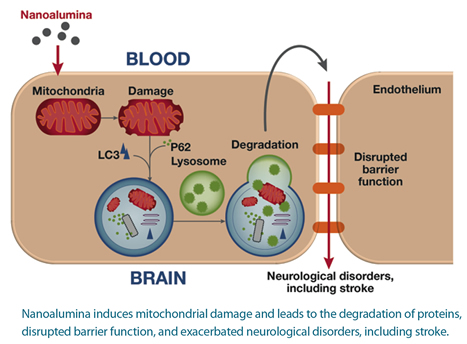 A graphic depicting the process wehre nanoalumina induces mitochondrial damage and leads to the degradation of proteins, disrupted barrier function, and exacerbated neurological disorders, including stroke.